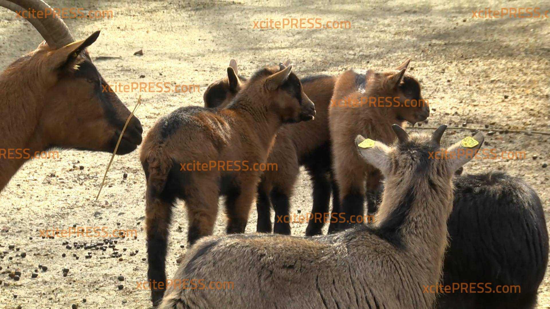 Sechs (fast) auf einen Streich! Nachwuchs bei seltener Haustierrasse: Freude über Erzgebirgs-Ziegen-Jungtiere im Tierpark Chemnitz